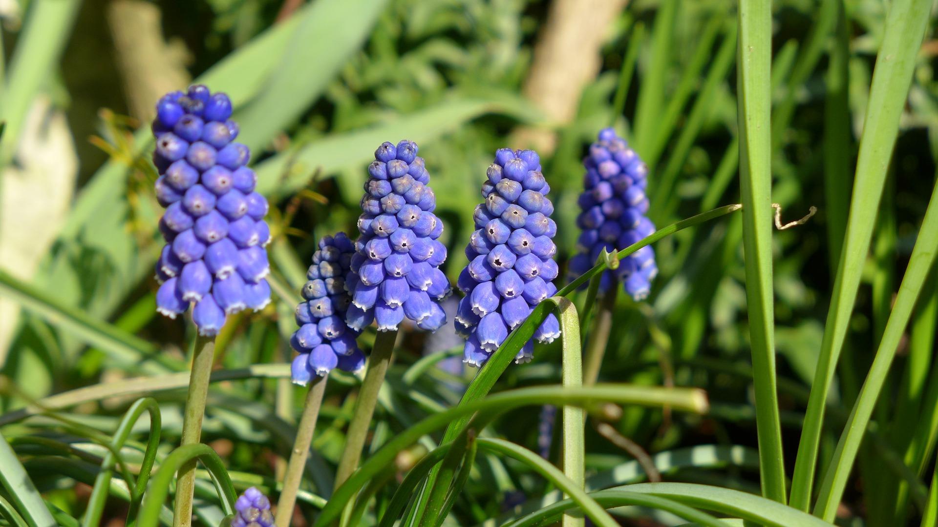 grape-hyacinth-1328332_1920jpg
