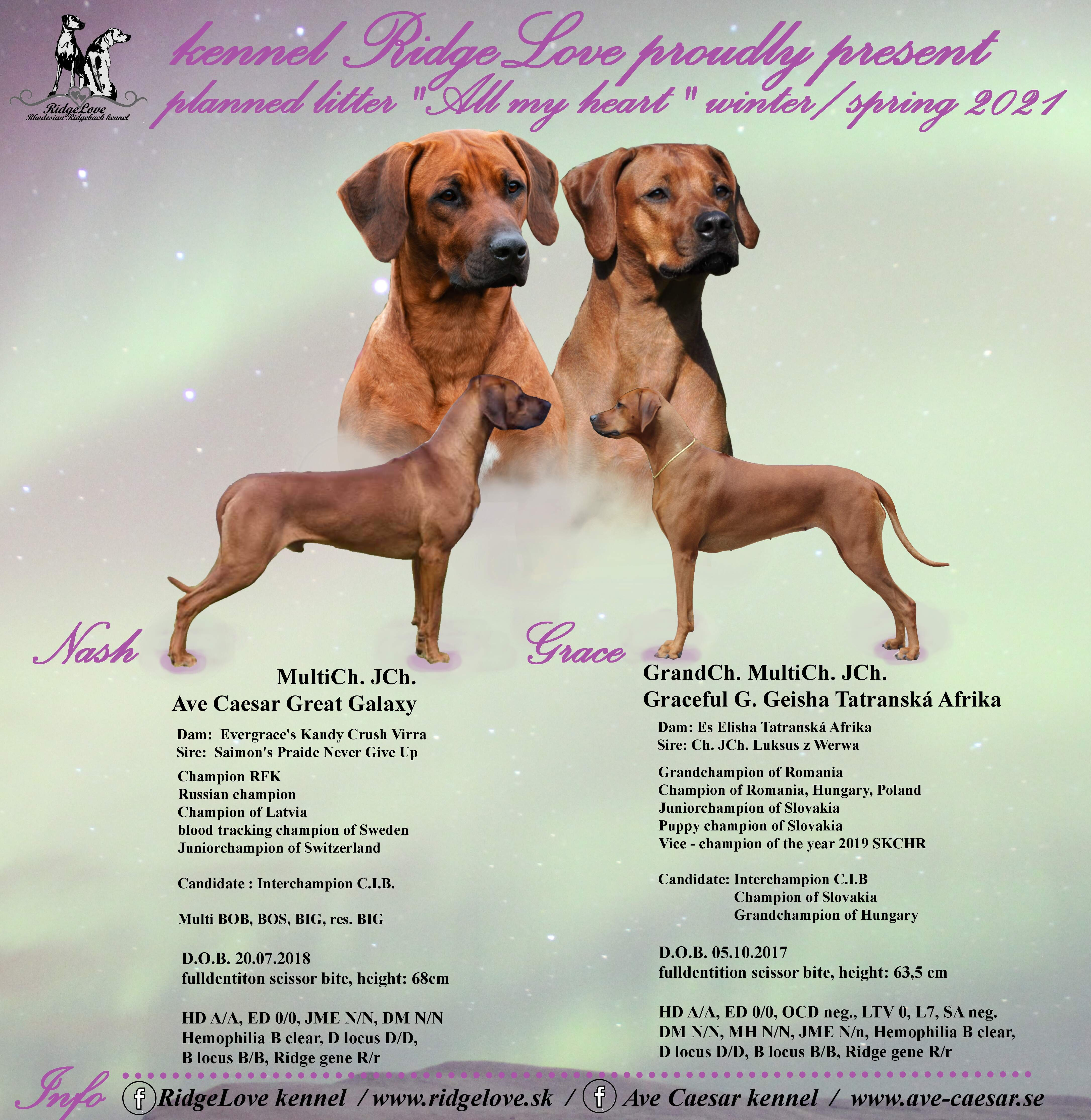 puppies Nash and Grace, rhodesian ridgeback puppies, Graceful G Geisha, Ave Caesar Great Galaxy puppies