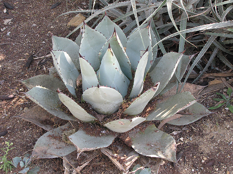 Agave Parryi subsp. parryi - 5x semienka, seeds