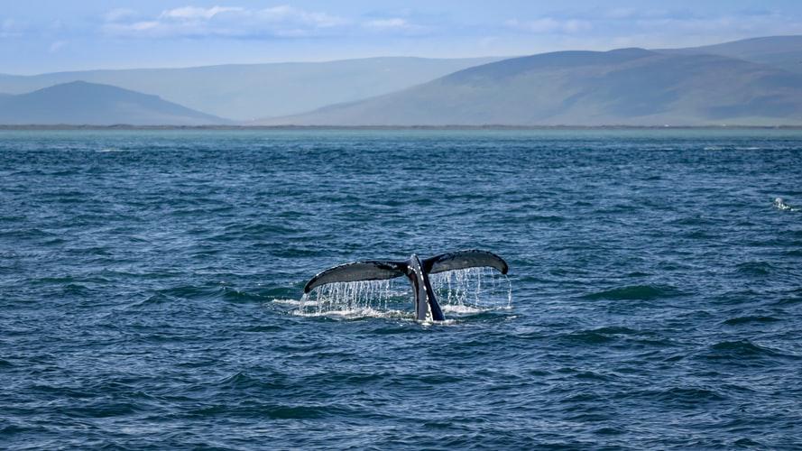 island-pozorovanie-velryb-ochrana-prirodyjpg