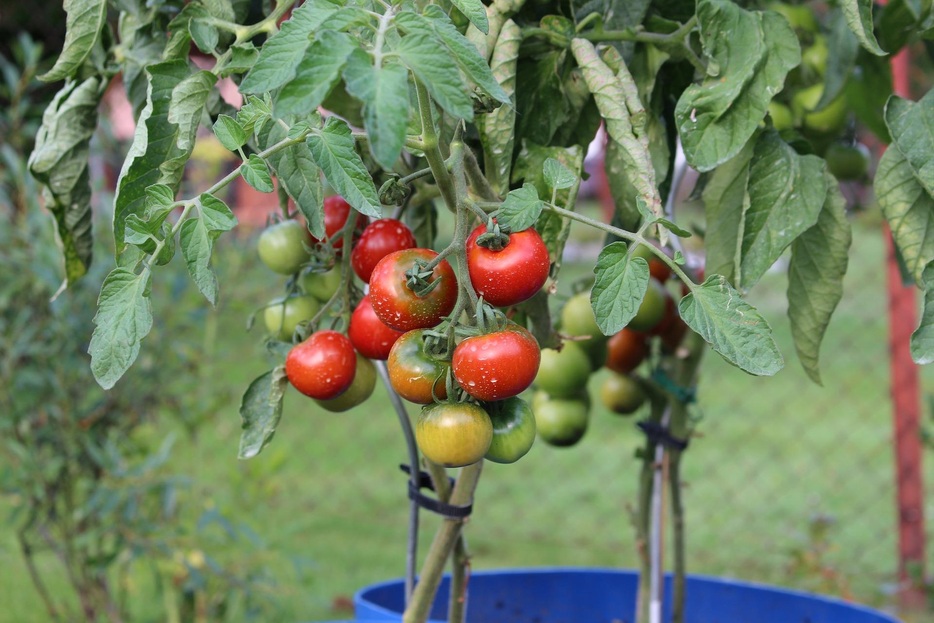 tomatoes-2530823_1920jpg