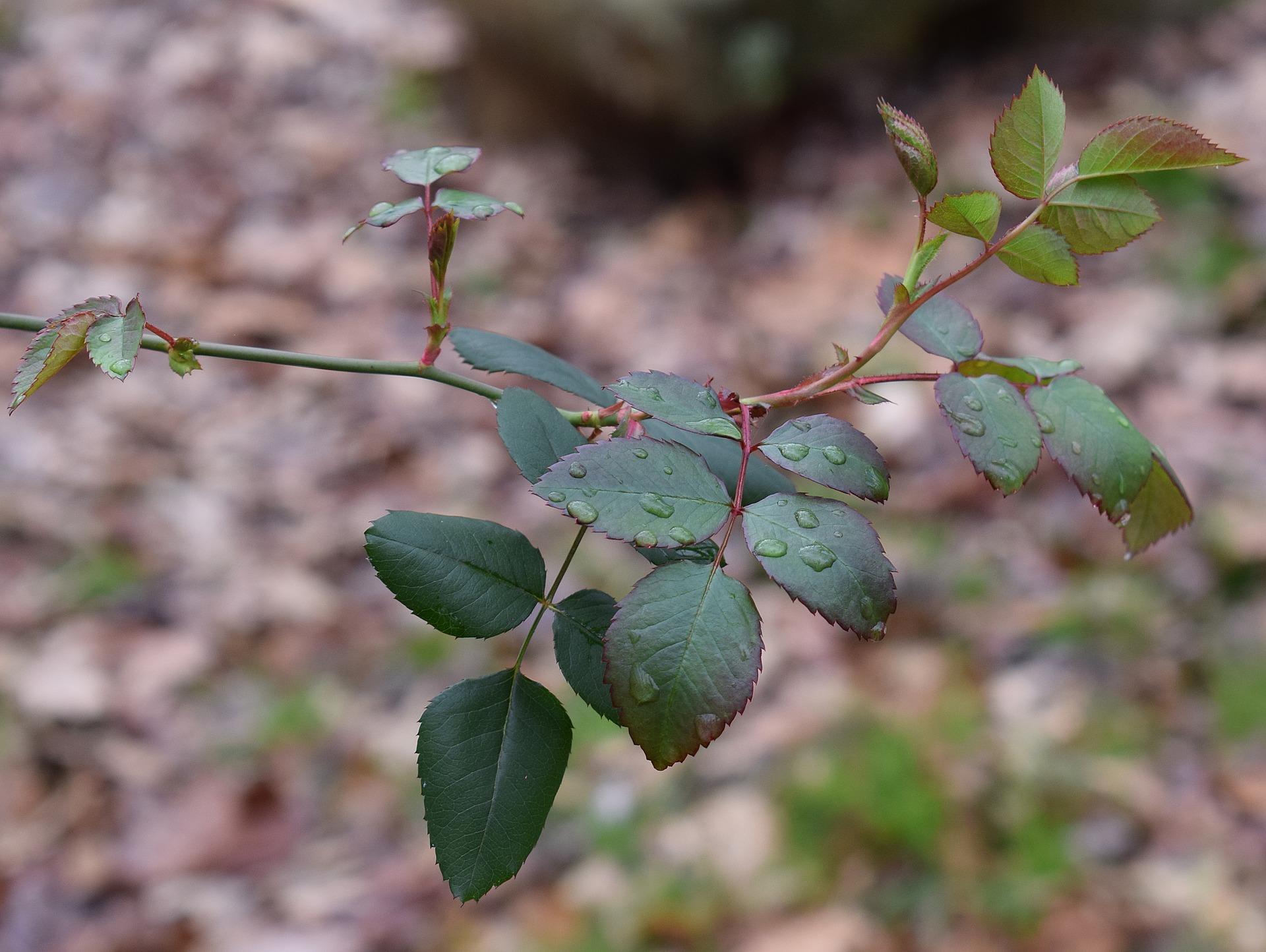 new-rose-leaves-2090924_1920jpg
