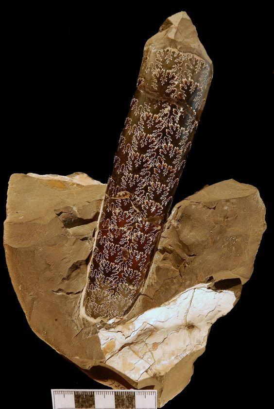 Baculites compressusUSAjpg