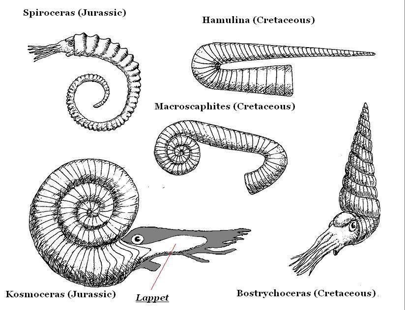ammonitesjpg